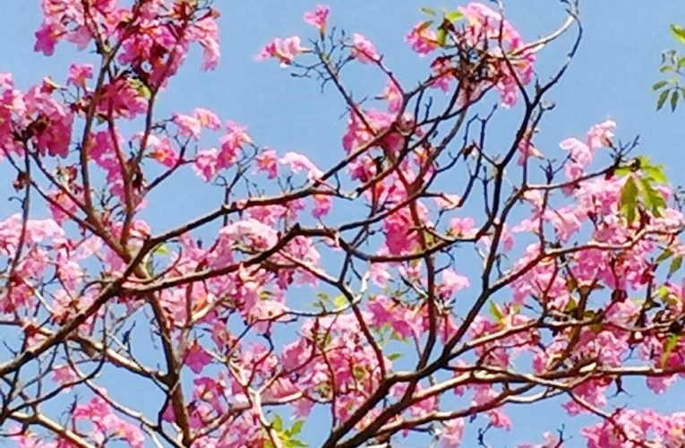 Ipoh's Cherry Blossoms