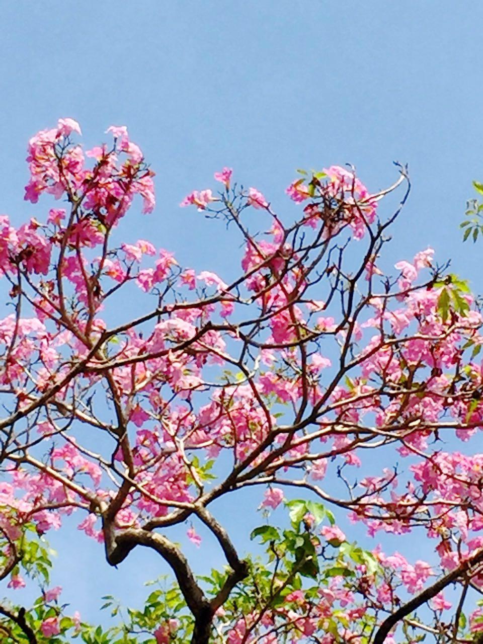 1. pink Tecoma blossoms