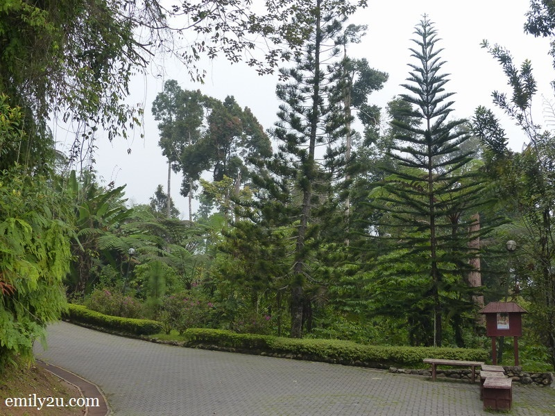 13. pine trees in a tropical rainforest