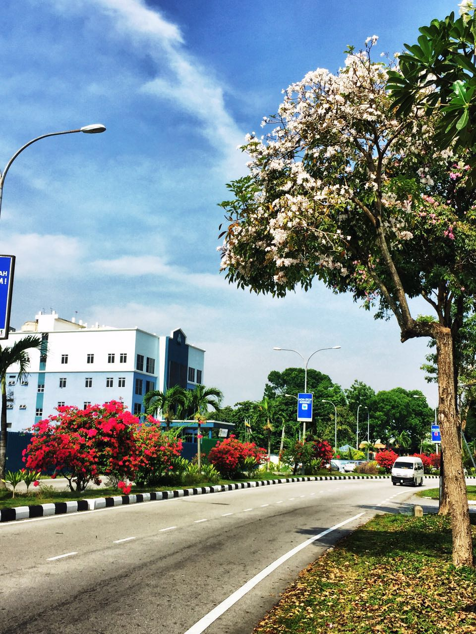 2. Tecoma trees enhance the landscape of Ipoh City