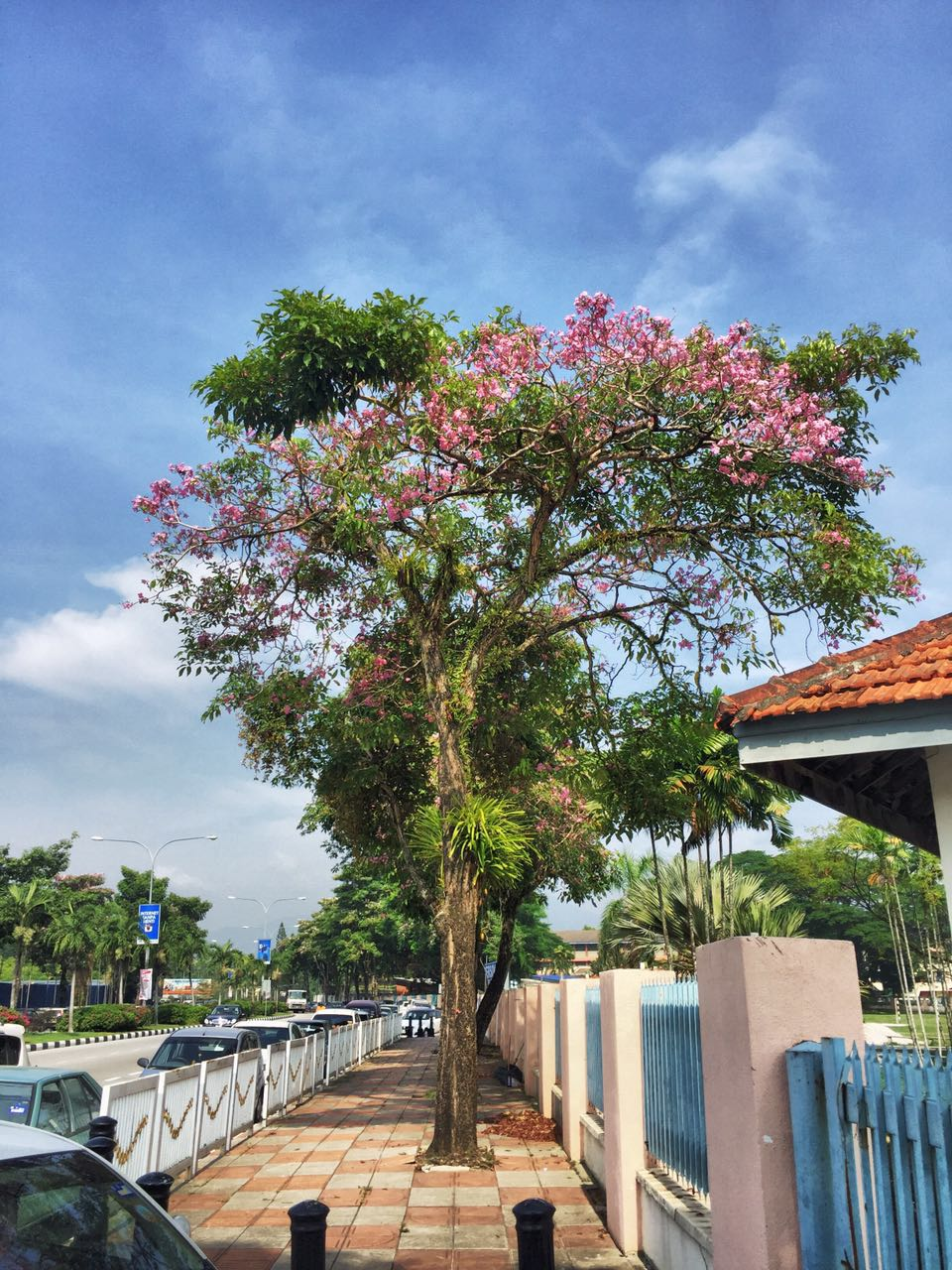 3. Tecoma trees along Jalan Hospital, Ipoh