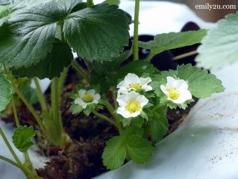 5. strawberry flowers