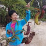 Pat Ang rescues a mature pitcher plant