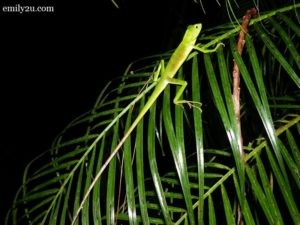 Night Herping Awana Garden Genting Highlands