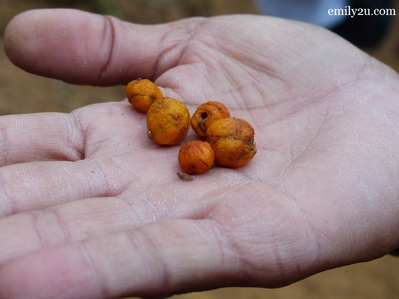 13. small fig fruits from a giant strangler fig tree that are liked by small birds and leaf monkeys
