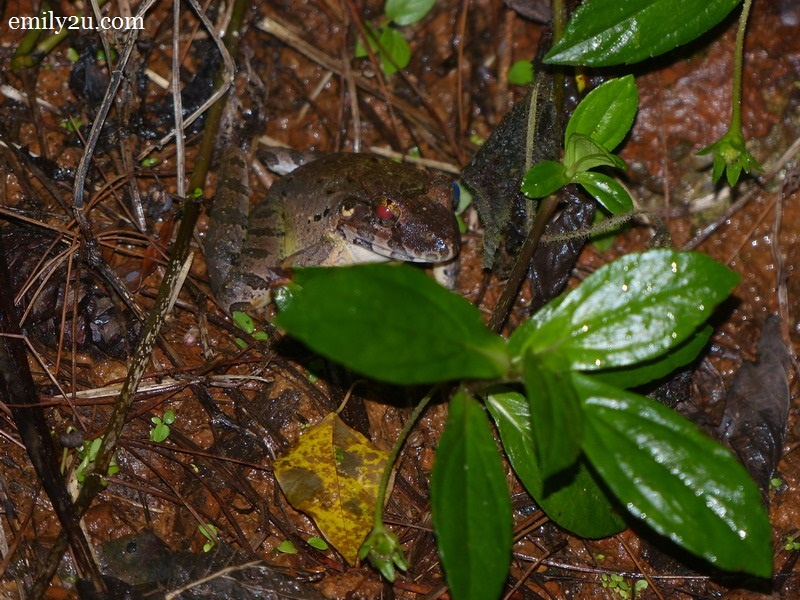 13. Giant River Frog (Limnonecres blythii)