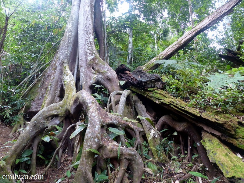 14. one of the giants of FF - a strangler fig tree affectionately named Gracie