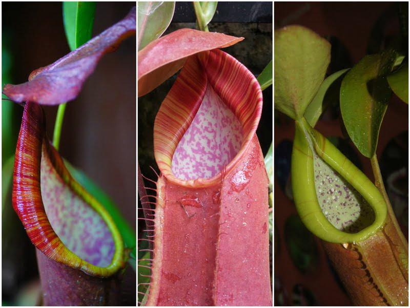 2. colorful pitcher plants