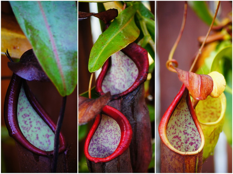 3. colorful pitcher plants