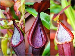 Colorful Pitcher Plants
