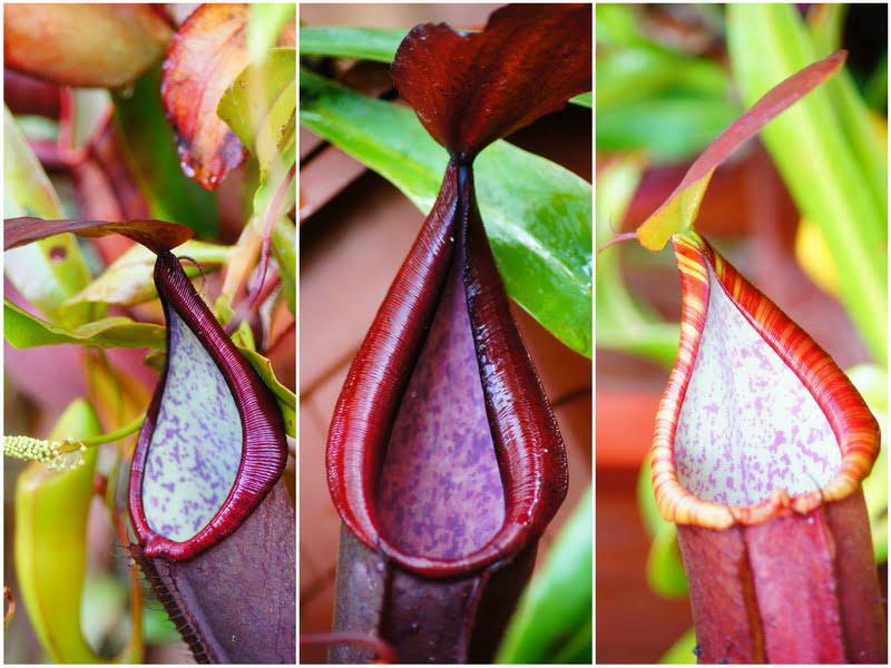4. colorful pitcher plants