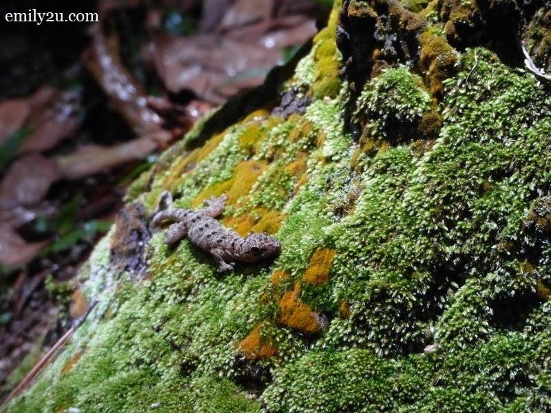 4. Twin-spotted Gecko (Gekko monarchus)