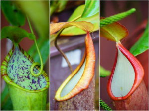 Colorful Pitcher Plants