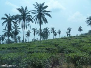 Boh Tea Farm Sri Cheeding
