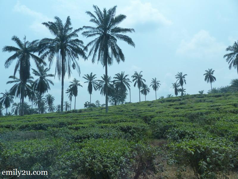 1. BOH's low land tea plantation in Bukit Cheeding, Selangor