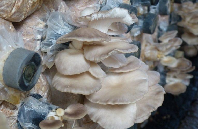 Oyster Mushroom Cultivation @ Ever Fresh Mushroom
