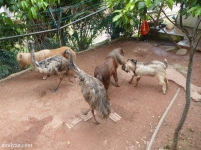11. Saanen goat, Falabella horses & emu