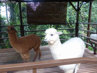 12. alpacas Chocolate (L) and Milky (R)