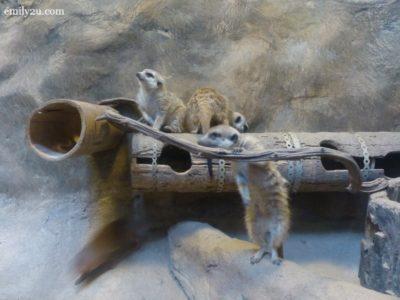2. dwarf mongoose