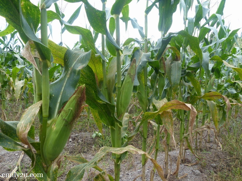 1. plant with corn ready to be harvested