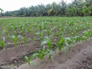 3 corn field