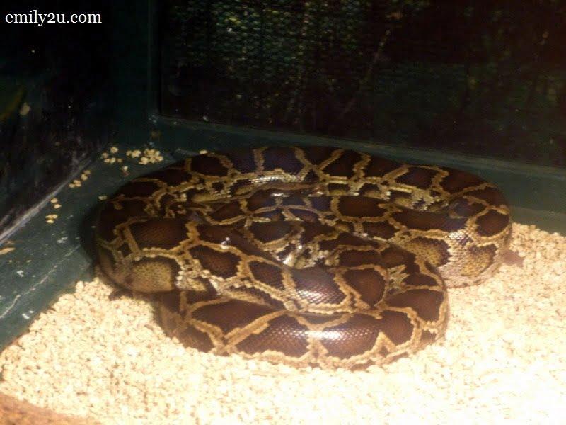6. Burmese python