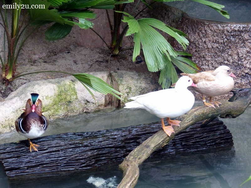 16. White-faced Whistling Duck (L)