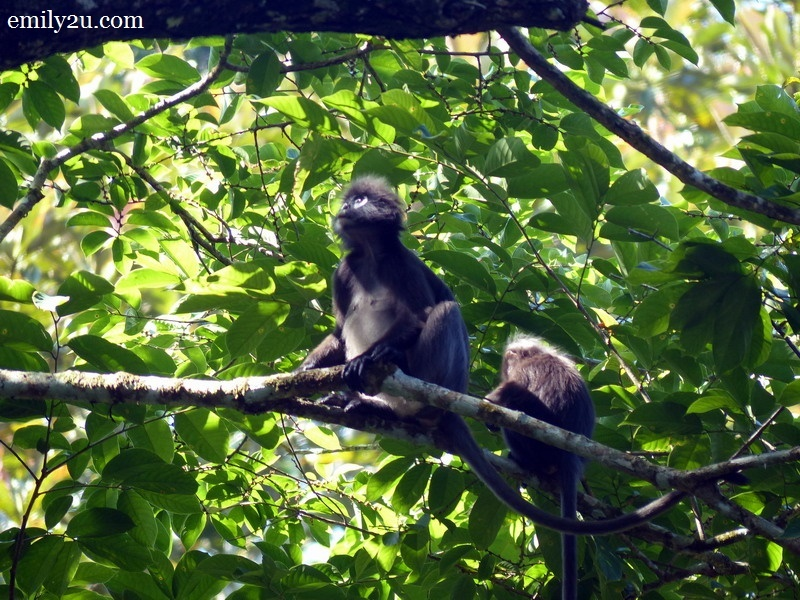 8. Dusky Leaf monkeys