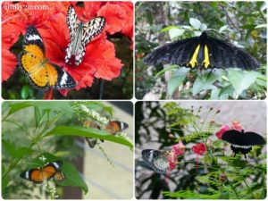 9 butterflies at Entopia by Penang Butterfly Farm