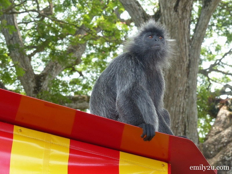 2. silvered leaf monkey (Silvery lutung) chilling atop a tram