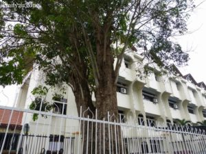 9 oldest rubber tree