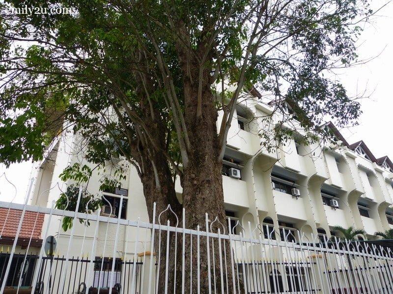 oldest rubber tree of Kuala Kangsar