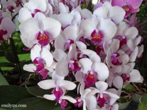 8 Pesta Orkid Ipoh