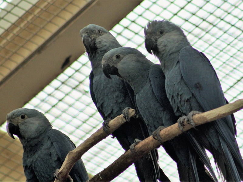Believed to be extinct in the wild, the critically endangered Spix's macaw is distinguished within the blue macaw family by its size (it is the smallest) and elegant grey-blue plumage.