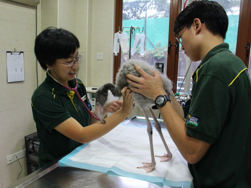 Jurong Bird Park's avian veterinarian, Dr Neo Peici (left) checking on Squish, assisted by veterinary nurse Marcus Tan.