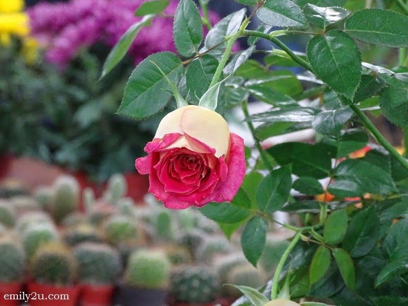 4. a rose