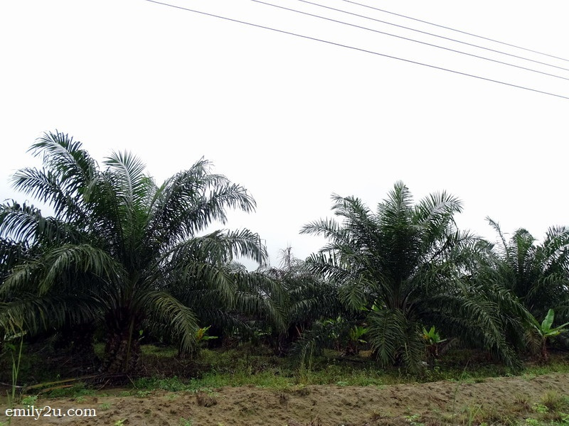 12. oil palm trees