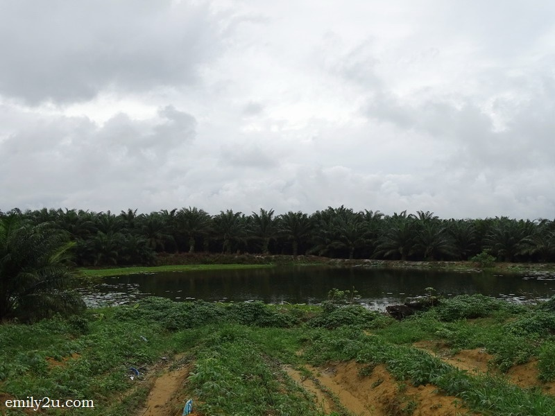 13. a disused mining pond lined by oil palm trees