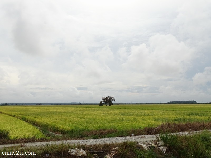 5. tracts of paddy field