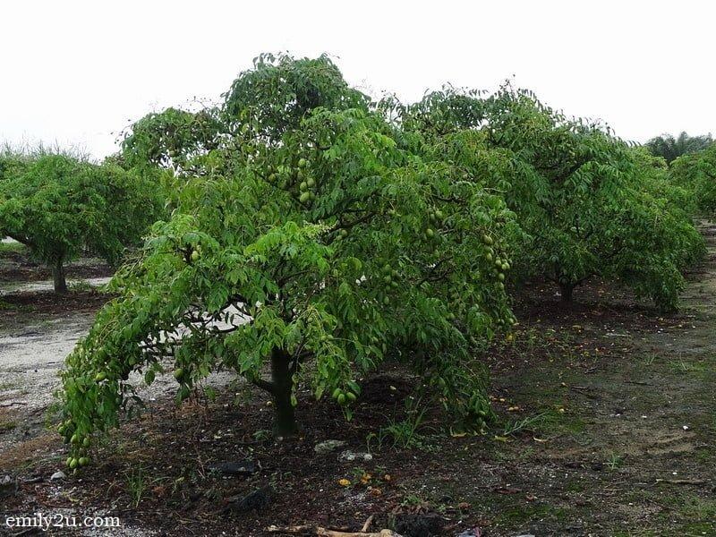 6. amra trees