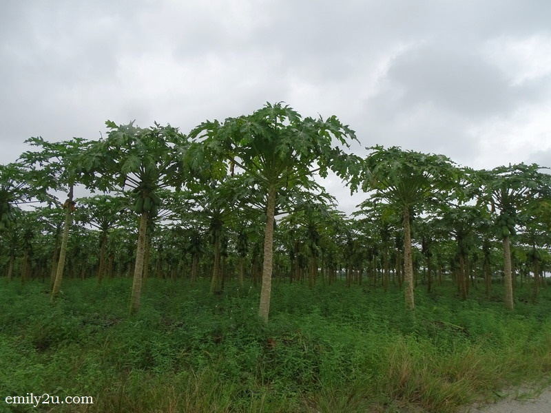 8. papaya trees