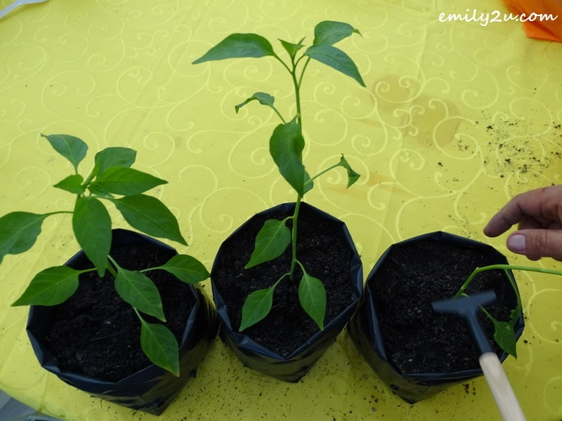 3. tree saplings in seedling bags