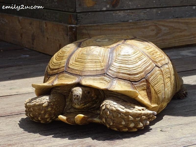 34. senior tortoise