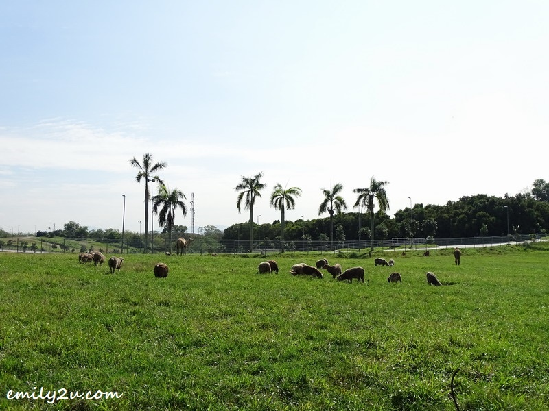 6. goats grazing in the morning