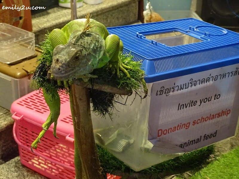 11. iguana