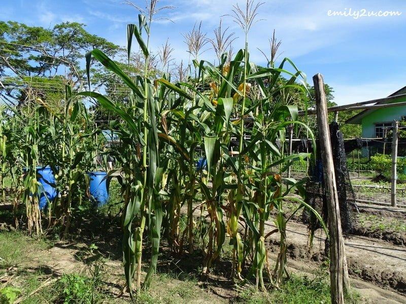 4. corn