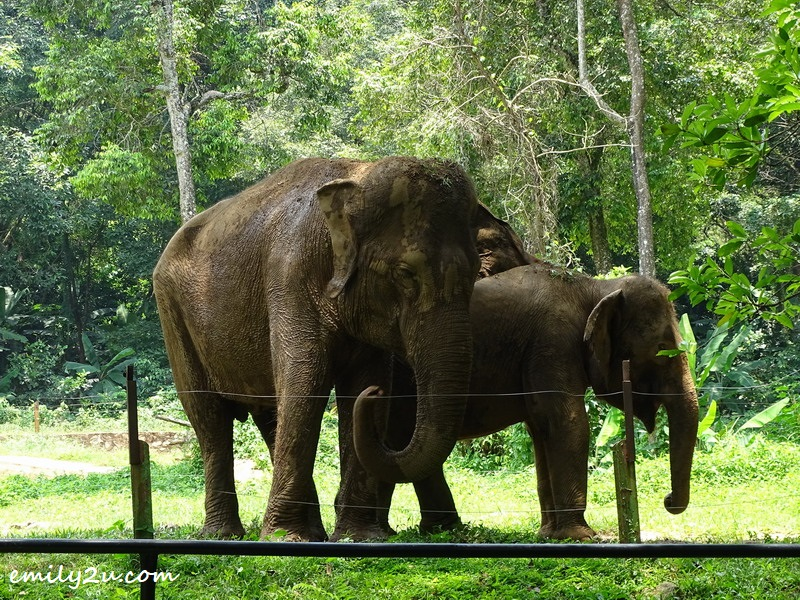 20. Asian elephants
