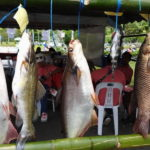 6.790kg Patin Fish Bags Angler RM5K Cash Prize