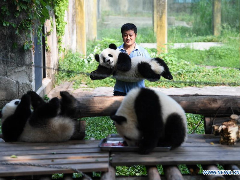 Yin Yanqiang, technical director of Giant Panda House of Chongqing Zoo and his charges (Photo credit: Xinhua)