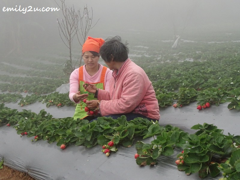 proprietor of Mile High Leisure Farm, Tu Chiao Hsien (L) and her mother harvest strawberries at their farm